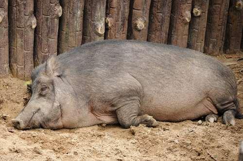 セミリタイアの体験談は、養豚場のブタの気持ち